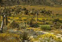 Wiosenne kwiaty w Namaqualand